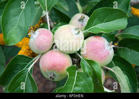 Apple tree bearing fruit at Lambley Gardens and Nursery, Ascot via Ballarat, Victoria - Stock Image