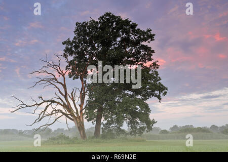 Living and dead oak next to each other in a meadow in the River Elbe Floodplains in the morning light - Stock Image