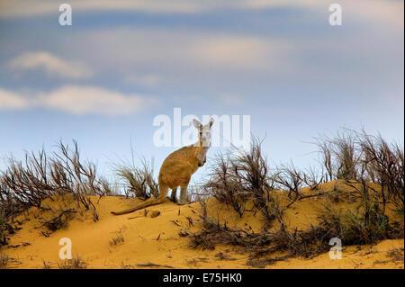 Kangaroo, Australia - Stock Image
