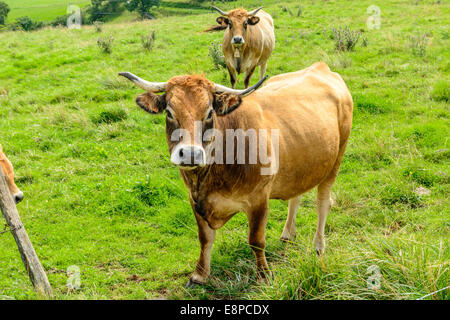Brown salers cows in the moutains of the Cantal, France - Stock Image