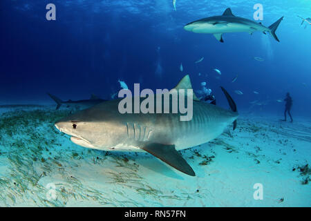 Tiger Shark (Galeocerdo cuvier) Swimming by Closely, with Caribbean Reef Shark above. Tiger Beach, Bahamas - Stock Image