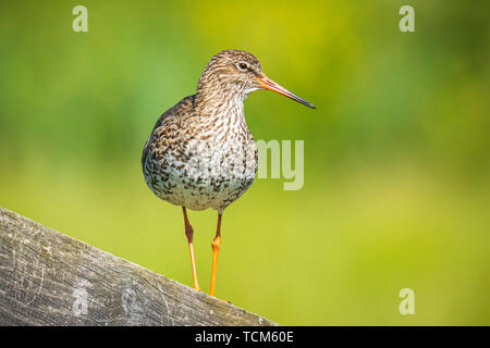 Common redshank tringa totanus perched and foraging in farmland. These Eurasian wader bird are breeders in the grassland of the Netherlands. - Stock Image