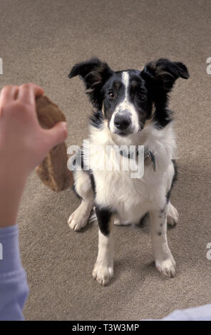 Sheepdog border collie puppy sitting begging for treat - Stock Image