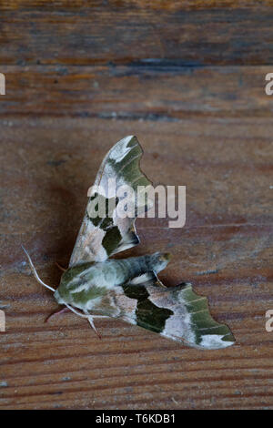 lime hawk moth mimas tiliae resting on a wooden box in the shade during daylight hours zala county hungary - Stock Image