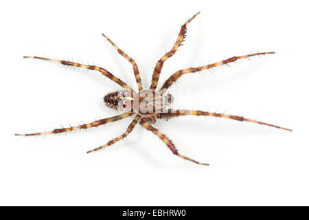 A Cross spider, or Garden Spider (Araneus quadratus) on white background. Cross spiders are part of the family Araneidae - Stock Image