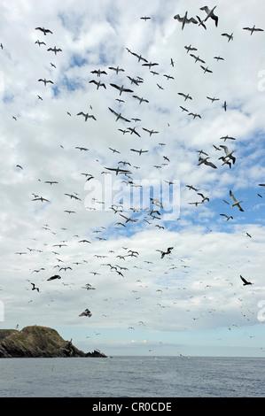 Flock of northern gannets (Morus bassanus) in flight near breeding colony at Muckle Flugga, isle of Unst, Shetland. - Stock Image
