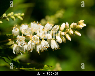 Close up of the fragrant flowers of the sweet pepper bush, Clethra alnifolia - Stock Image