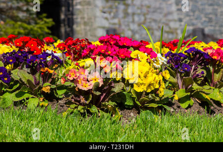 A colourful formal mixed herbaceous border of Polyanthus plants outside Killyleagh Castle in Killyleagh Village in County Down Northern Ireland - Stock Image