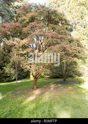 Paperbark maple tree, acer griseum, National arboretum, Westonbirt arboretum, Gloucestershire, England, UK - Stock Image