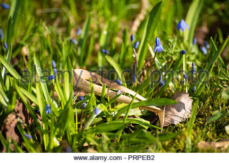 Blue flowers in woodlands, in Spring. - Stock Image