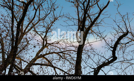Rainbow visible through a tree's bare branches in winter - Stock Image