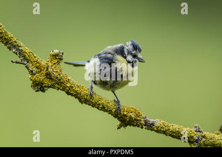 Blue tit, Latin name Cyanistes caeruleus, showing very poor plulmage condition due to disease or the result of a very stressful time raising young - Stock Image