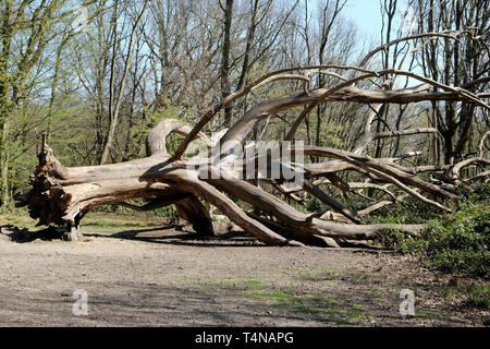A dead tree laying on the park floor, Hampstead Heath, London - Stock Image
