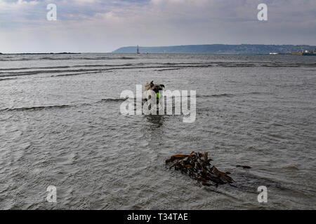 Longrock, Cornwall, UK. 6th Apr, 2019. UK Weather. Titan the Pug pup making the most of the sunny weather, playing in the sea at lunchtime. Credit: Simon Maycock/Alamy Live News - Stock Image