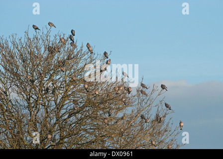 A flock of Wood-pigeons landing in bare ash tree - Stock Image