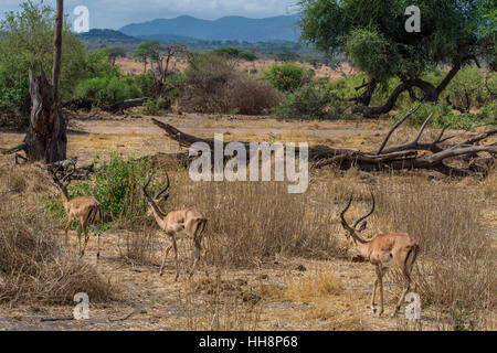 Wildlife, cute impalas are running on their free home, safari - Stock Image