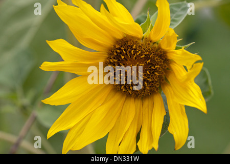 sunflower flower yellow - Stock Image