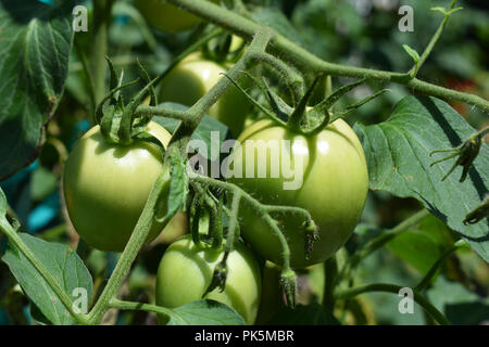 Green Tomatoes growing on the vine. - Stock Image