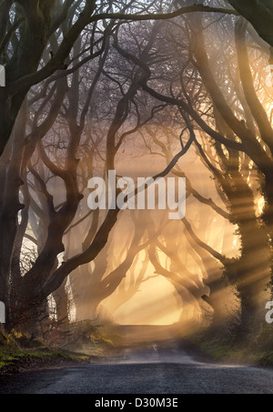 Morning light illuminate the avenue tree's  known as the Dark Hedges in Northern Ireland. - Stock Image