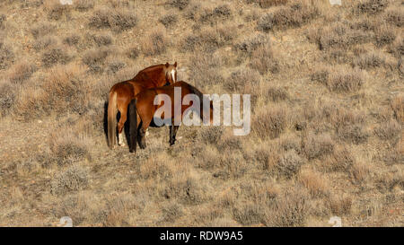 Overview of two brown wild mustangs grazing dry grass in the distance and plenty of copy space - Stock Image