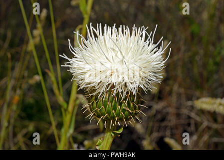 Klasea flavescens is a flowering plant native to the Iberian Peninsula. The picture was taken in Andalucia (Spain). - Stock Image