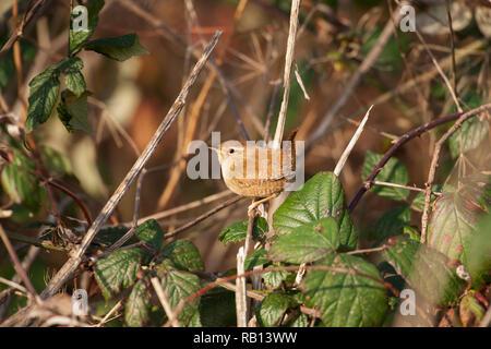 European Wren,Troglodytes troglodytes, Hampstead Heath, London, United Kingdom - Stock Image
