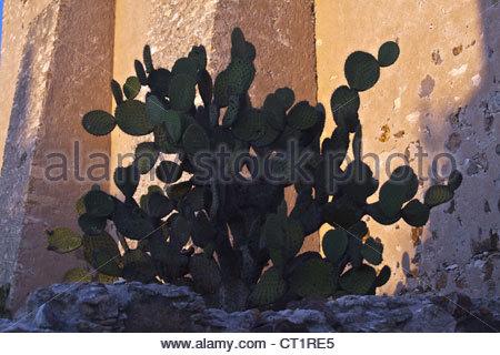 A CACTUS PLANT at the 16TH CENTURY RUINS at the MINA SANTA BRIGIDA MINE - MINERAL DE POZOS, GUANAJUATO, MEXICO - Stock Image