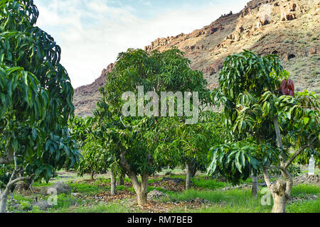 Tropical mango tree after harvesting growing in orchard on Gran Canaria island, Spain, cultivation of mango fruits on plantation. - Stock Image