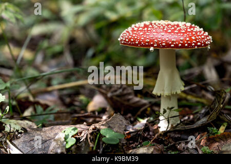 Mushroom Amanita Muscaria close up in landscape - Stock Image