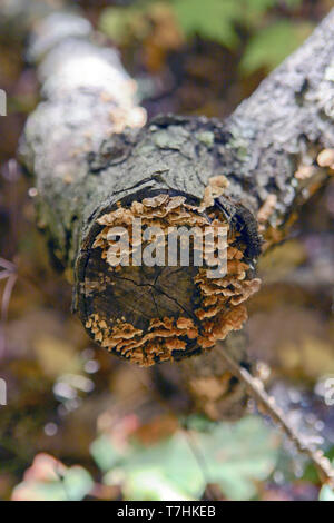 Bracket fungi growing on the end of a dead tree branch in the western mountains of North Carolina - Stock Image