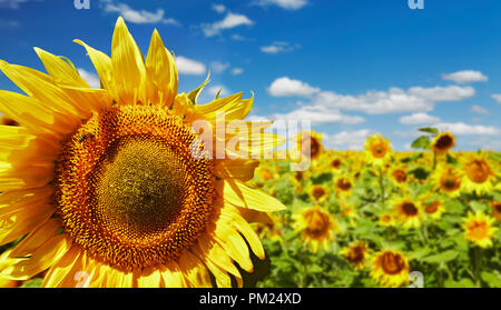 Closeup bright sunflower over blurred field and blue sky background - Stock Image