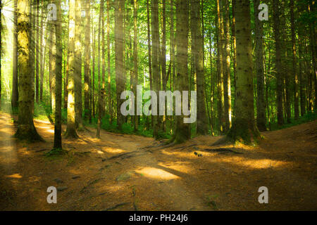 Forest with the sunlight in Latvia - Stock Image