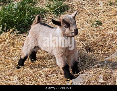 Goat Kid - Stock Image