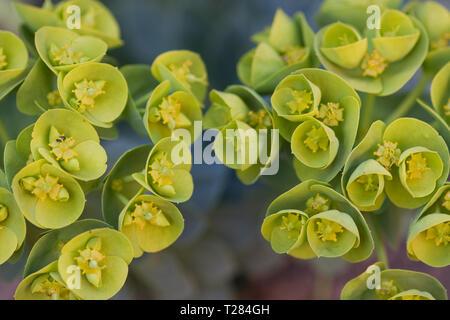 Euphorbia myrsinites in flower, springtime UK - Stock Image