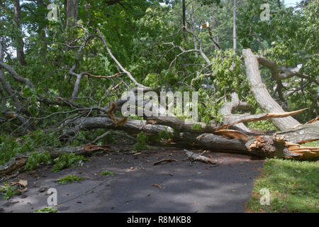 A huge old oak tree falls, shattering across a narrow road completely blocking it - Stock Image