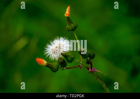 Blowball on a Yellow flower from the Senecio family. Photographed in Crete, Greece in December - Stock Image