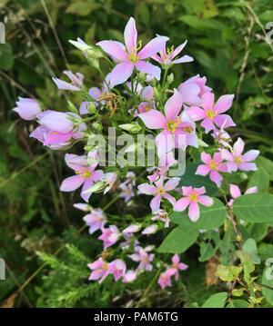 A group of beautiful, pink Rosepink (Sabatia angularis) flowers growing in a field in Tennessee - Stock Image