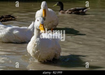 Heavy white Pekin Ducks (Anas platyrhynchos domesticus) standing in shallow water - Stock Image