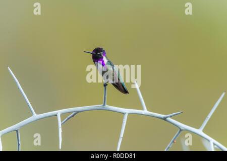Male Costa's Hummingbird (Calypte costae) perched on graythorn (Ziziphus obtusifolia), Tucson - Stock Image