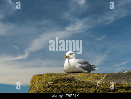 Herring Gull, Larus argentatus,  sitting on a harbour wall at Abergwaun, Lower Fishguard on the Pembrokeshire Coast on a sunny May day - Stock Image