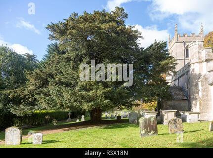Ancient yew tree in churchyard All Saints Church, Yatesbury, Wiltshire, England, UK - Stock Image