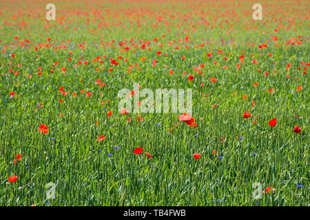 Wild red poppies growing in a wheat field in north east Italy. - Stock Image