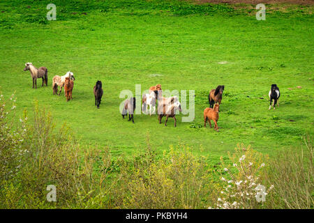 Pony herd on a green field seen from above - Stock Image