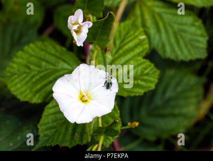 False oil beetle (Oedemera nobilis) on bindweed flower in Combe Valley , East Sussex, England - Stock Image