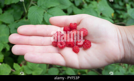 Handful of wild red-fruited raspberries against a leafy background. Caucasian female hand holding raspberries, top-down composition. - Stock Image