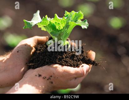Lettuce seedling - Stock Image