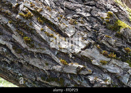 Structure bark of an old tree. - Stock Image