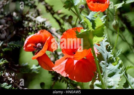 poppies - Stock Image