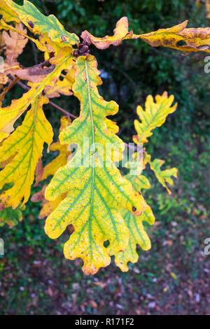 Leaf of English oak turning yellow in autumn - Stock Image