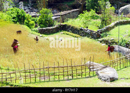 Bucolic scene: Nepalese workers harvesting millet. - Stock Image